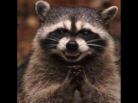 Raccoon Coon No Matter The Name A Smart Little Critter